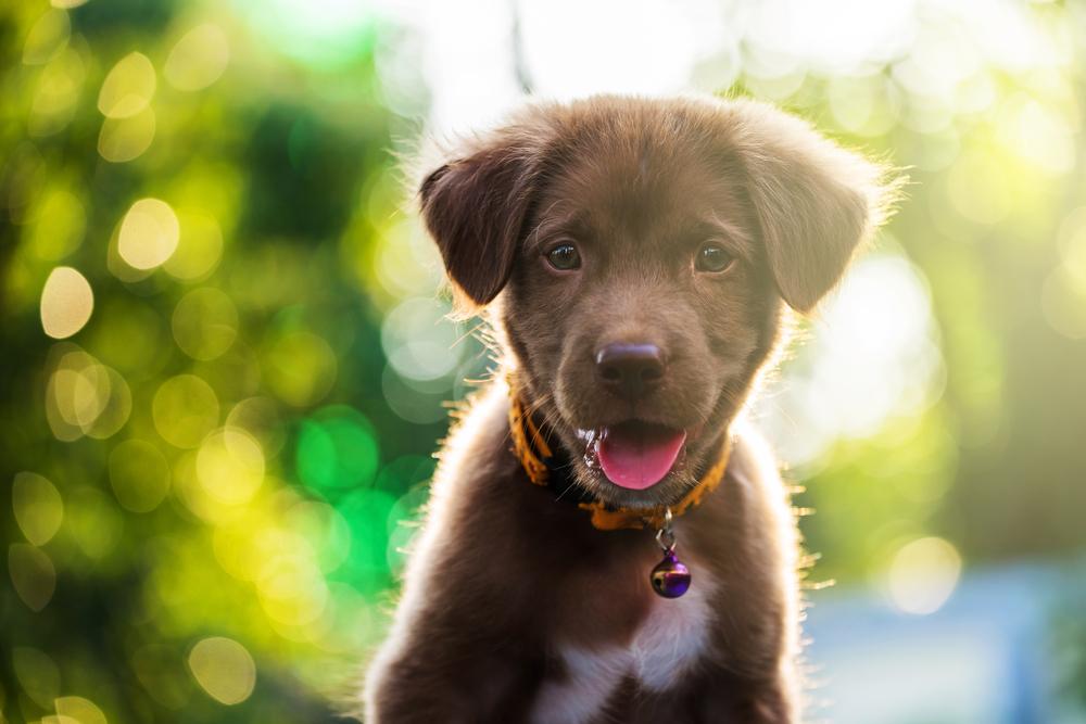 Most Expensive Pedigree Dog Breeds